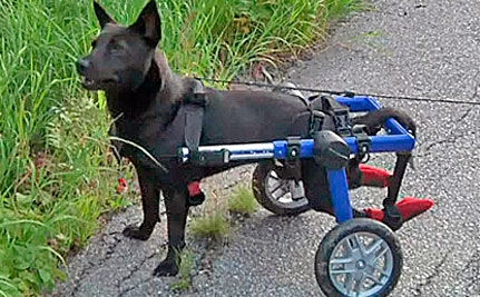 Paralyzed Dog Scales Mount Washington in Wheelchair (VIDEO)
