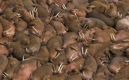 10,000 Walruses Forced Ashore In Alaska