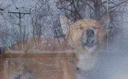 Rare New Guinea Singing Dogs Discovered in Pennsylvania