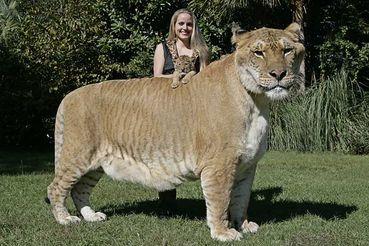Tiger Hybrid a Lion-Tiger Hybrid