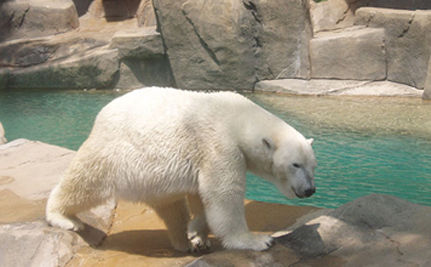 Knut, Germany's Famous Polar Bear, Dies In Front Of 600 Visitors - VIDEO
