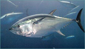 Bluefin Tuna Risks Commercial Extinction, WWF Says - Care2 News ...