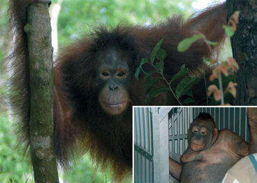 Image result for orangutan sexual abuse