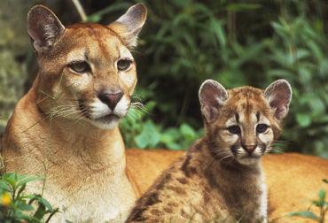 eastern puma endangered