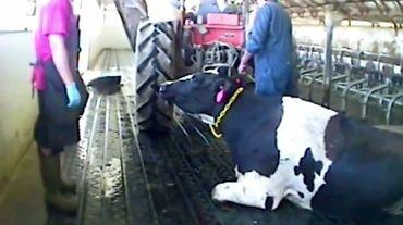 cow sex videos Videos   MyPornVid.