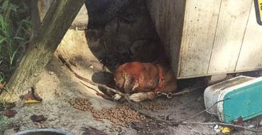 flea infestation yard. Dog Tied Up In Yard Suffers Long - Dies Of Flea Infestation F