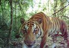 Tiger tourism: Cambodia s newest cash ploy