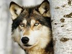 Ban Wolf Snaring PLEASE SIGN