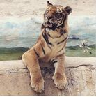 Tiger Cub Deaths, Unsafe Enclosures, and Suffering Animals at Puerto Rico s Only Zoo