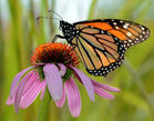 Protect Monarch Butterfly Reserve From Dangerous Mine