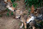 Tell the FWS: Protect Red Wolves PLEASE SIGN