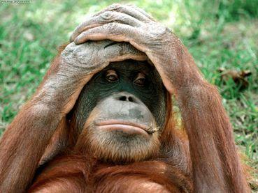 Orangutan Endangered Endangered Orangutans