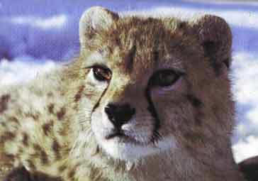 Asiatic Cheetah aka Iranian Cheetah - IUCN Red Listed Criti