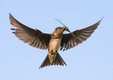 Animals Tags Aerial Insectivores Decline Swifts Whip Poor WillsA North American Nightja Nighthawks Swallows Martins Flycatchers