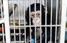 HEALTH AND HUMAN SERVICES MUST STOP FUNDING HARMFUL RESEARCH & TESTING ON CHIMPANZEES