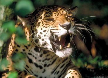All About Jaguars: THREATS