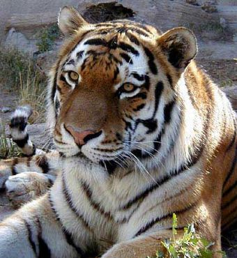 Two Siberian tigers are coming to the Alaska Zoo - Care2 News Network