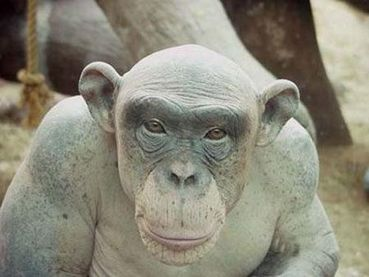 Shaved sex monkey