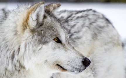Success!  Wolves Near Yellowstone are Safer!