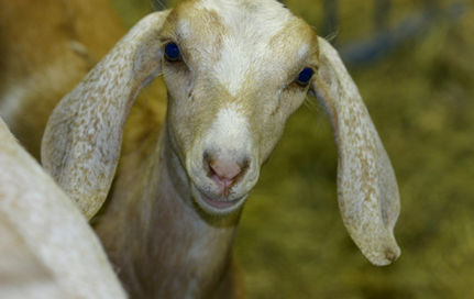 Got Genetically-Engineered Goat Milk?