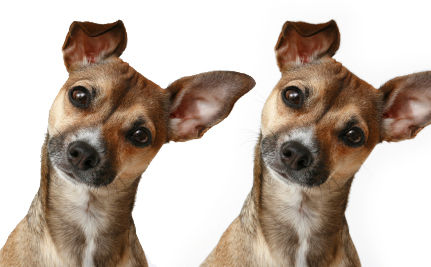 Dog Cloning: Would You Clone if the Price Were Right?