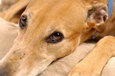 Trouble Ahead for Greyhounds in South Africa