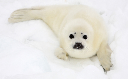 Seal Hunt Could See an End: Seals and a Senator Need Your Help