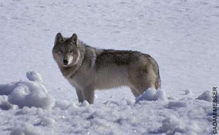 Colorado's Lone Wolf
