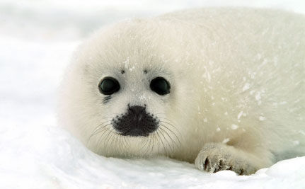 Victory for baby seals in Russia!