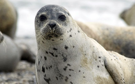 Confirmed: First Seal Killed Today in 2009 Hunt