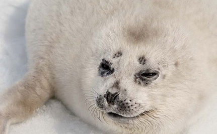 280,000 Seals Sentenced to Death