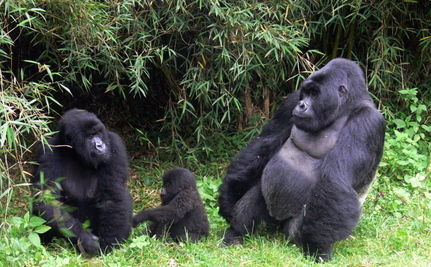 University Launches Program to Save Mountain Gorillas