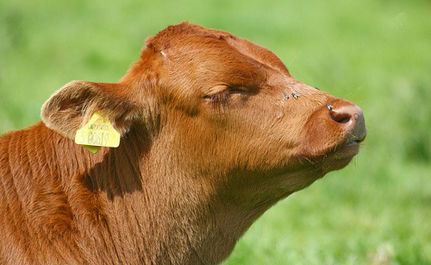 Another State Bans Veal and Gestation Crates!