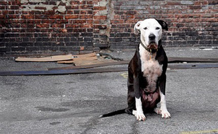Support Tougher Laws for Dogfighting