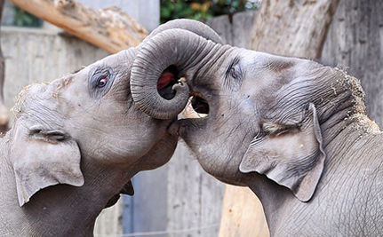 Take Part in an International Effort to Help Elephants in Zoos