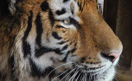 Speak Up for a Big Cat: A Truck Stop is No Place for a Tiger!