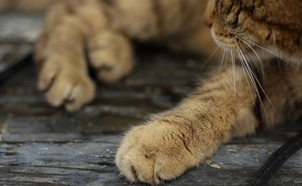San Francisco Considers a Ban on Declawing Cats