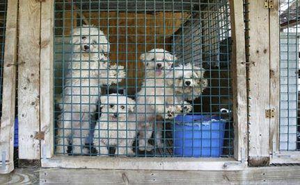 Flea Market Puppies
