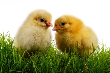 Ground Up Alive: Baby Chicks Suffer