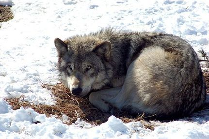 Gray Wolf Hunt Begins in Idaho