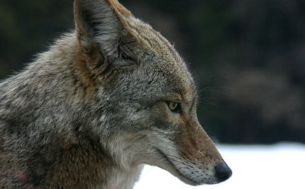 Coyotes Attack Celebrity Dogs