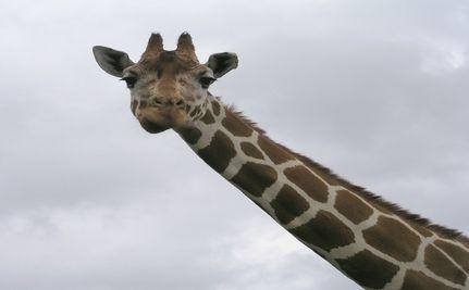 Giraffe On �The Zookeeper� Set Dies; Whistleblower Alleges Neglect