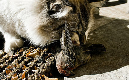 Cat vs. Bird: Is it Time to Lock Up Fluffy to Protect Wildlife Diversity?