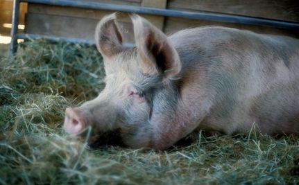 Cruel Farming Practices Banned In 2 States
