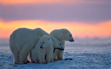 A Good Day for Polar Bears