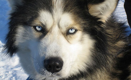 Nearly 100 Sled Dogs Rescued from Certain Death