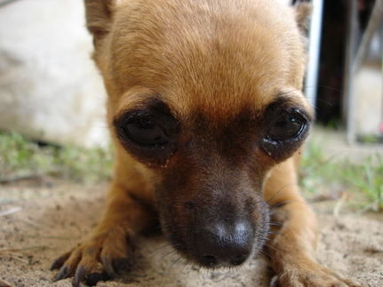 Project Flying Chihuahuas