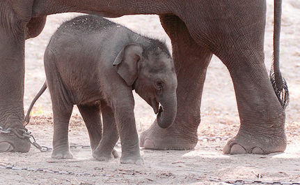 A Picture�s Worth a Thousand Words: Cruelty to Baby Circus Elephants Exposed