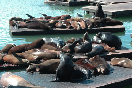 Mystery of the Missing Sea Lions of San Francisco Solved