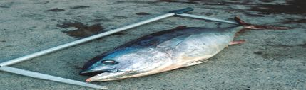 Backsliding on Bluefin Ban: Restaurants and Diners Step Up While Governments Argue